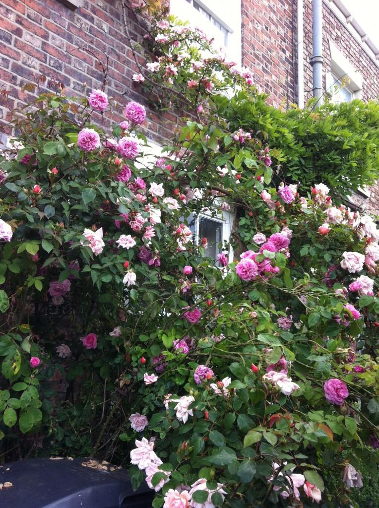 029 roses